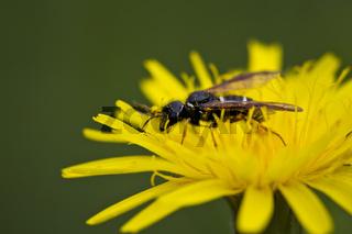 Wildbiene, Wild bee
