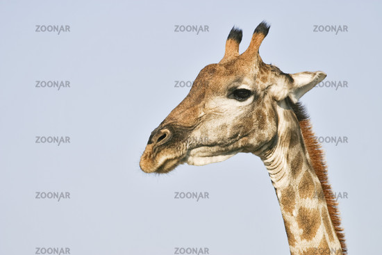 African Giraffe, Giraffa camelopardalis