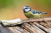 blue tit on the birdhouse