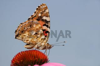 Distelfalter, Vanessa cardui, painted Lady, Sonnenhut, Echinacea