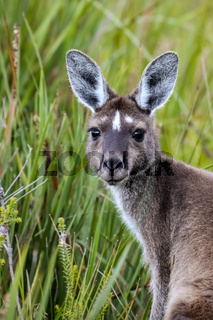 Close up of a Western Grey kangaroo, facing, green Background, Walepole Nornalup National Park, West
