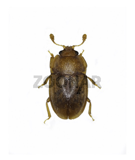 Sap Beetle Epuraea on white Background  -  Epuraea sp.