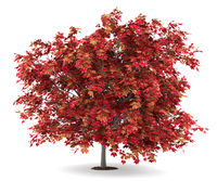 japanese maple tree isolated on white background
