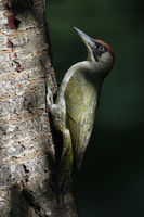 at the edge of a forest... Green Woodpecker *Picus viridis*