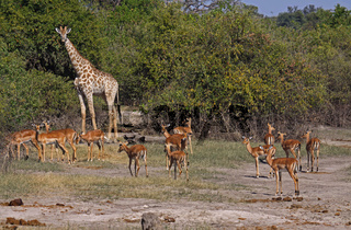 Impalas mit Giraffe im Chobe Nationalpark Botswana