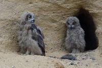 funny guys... Eurasian Eagle Owls *Bubo bubo*