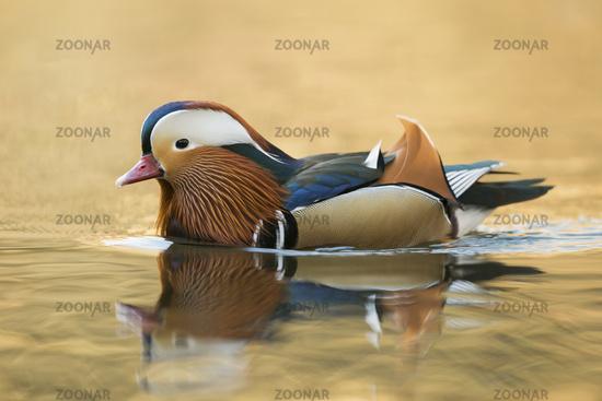 colourful drake... Mandarin Duck *Aix galericulata*