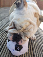 British Bulldog Chewing on a Football