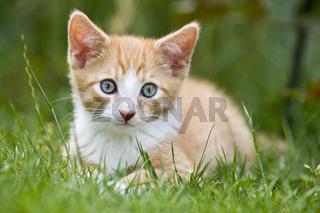 junges Europaeisch Kurzhaar Kaetzchen im garten, European Shorthair kitten in garden