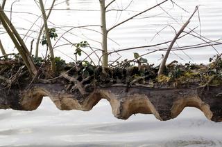 Biberverbiss am Stamm im Naturschutzgebiet Wehramündung