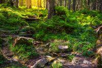 Beautiful forest landscape in the morning. Ukrainian Carpathians