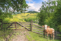Cow at a rustic gate in summer nature