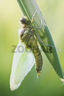 Vierflecklibelle (Libellula quadrimaculata) kurz nach dem Schlupf - Four-spotted Chaser (Libellula quadrimaculata) comes out of its larva
