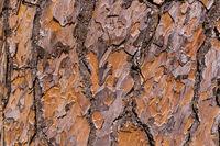 Texture of pine tree bark