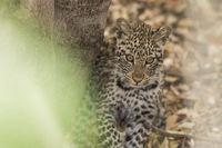 Leopard (Panthera pardus), Mashatu Game Reserve