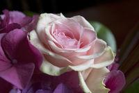 Rose with hydrangea
