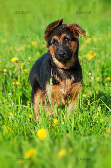 Mixed breed puppy in a flower meadow