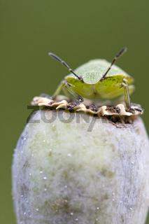 Gruene Stinkwanze (Palomena prasina)