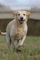 running Labrador retriever dog