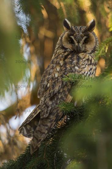 nocturnal... Long-eared Owl *Asio otus*