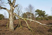 Schneverdingen - Trees in a heath landscape