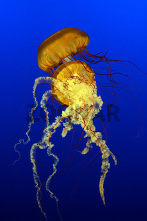 A pair of sea nettles jellyfish