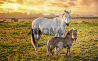 Horses in a Pasture with Orange Sunset, Northern California, USA