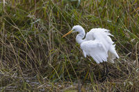 European Great White Egret, Ardea alba, Silberreiher