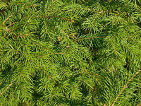 Green fir needles as a texture