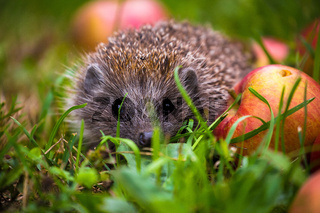 Hedgehog and aplles in nature view
