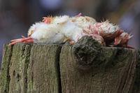 dead chicks