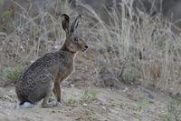 carefully watching... European Hare *Lepus europaeus*