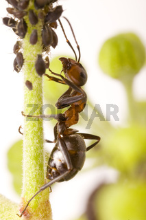 Waldameise (Formica rufa) mit Schwarzen Bohnenläuse (Aphis fabae) - wood ant  (Formica rufa) with Black Bean Aphid (Aphis fabae)