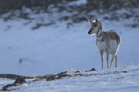 in last grazing light... Pronghorn *Antilocapra americana*