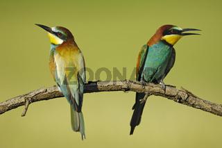 Bienenfresser, Paerchen, Merops apiaster, Bee-eater couple