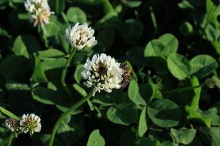 KLee, Blüte mit Biene