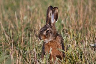 Feldhase, Lepus europaeus, European hare