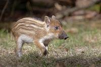 Wild Boar (Sus scrofa), piglet, standing, Schleswig-Holstein, Germany, Europe