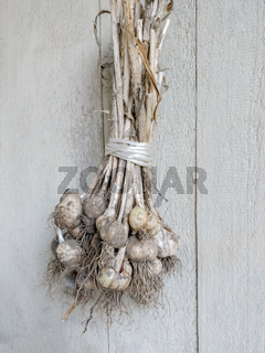 Drying Garlic Bulbs