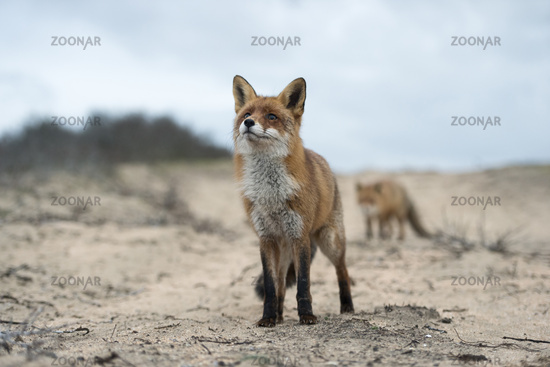 on a sandy path... Red Foxes *Vulpes vulpes*