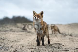der Weg... Rotfüchse *Vulpes vulpes*