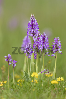 Helm-Knabenkraut, Orchis militaris, Military Orchid