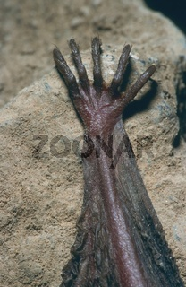 Braunes Langohr, Plecotus auritus, brown long-eared bat