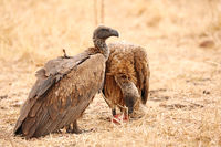 white-backed vultures, gyps africanus, South Africa