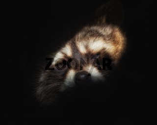 Head of a raccoon against black background