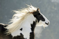 irish cob, tinker horse