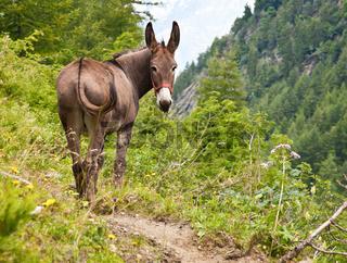 Donkey on Italian Alps