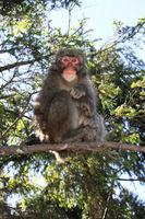 makake on the branch
