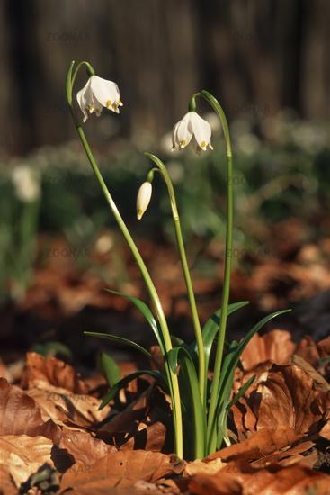 Spring knot flower (Leucojum vernum)