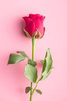 Red rose flower.